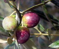 Locandina: Valorizzazione e promozione dell'oliva cultivar Itrana: