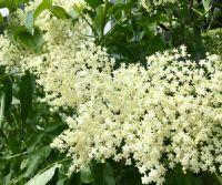 Locandina: Introduzione all'uso medicinale delle piante officinali