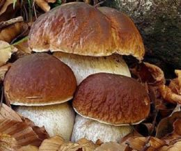 Locandina: Sagra del fungo porcino