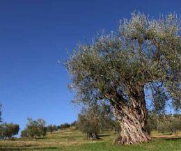 Locandina: Olivi secolari della Sabina: un patrimonio di storia e cultura