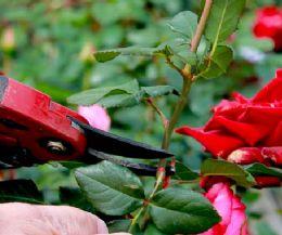 Locandina: Corso di potatura delle rose