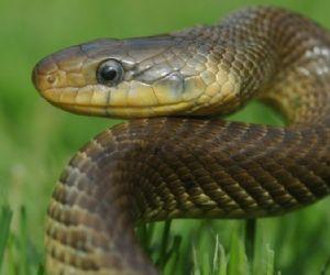 Locandina: Serpenti italiani