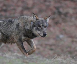 Locandina: Darwin Day. Il lupo nel Lazio